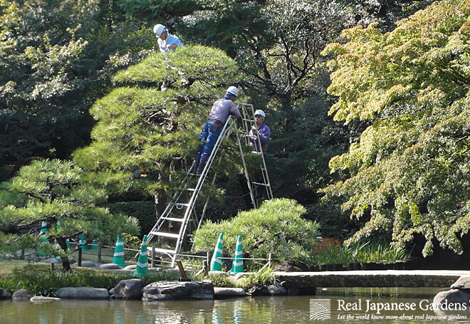 Gardeners working on a pine in the Kyu-Furukawa garden.