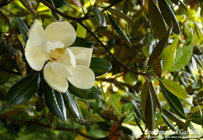 Giant magnolia flower in the Rikugien garden in Tokyo.