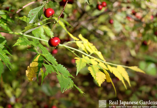 Shiny berries in the autumnal garden. Tonogayato garden in Tokyo.