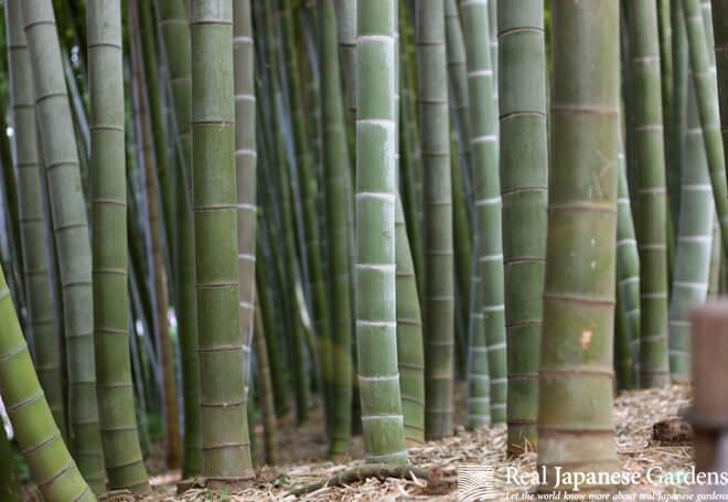 Bamboo forest in the Tonogayato garden in Tokyo.