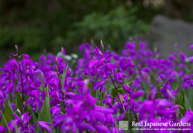 The flowers of Bletilla in the Kiyosumi garden.