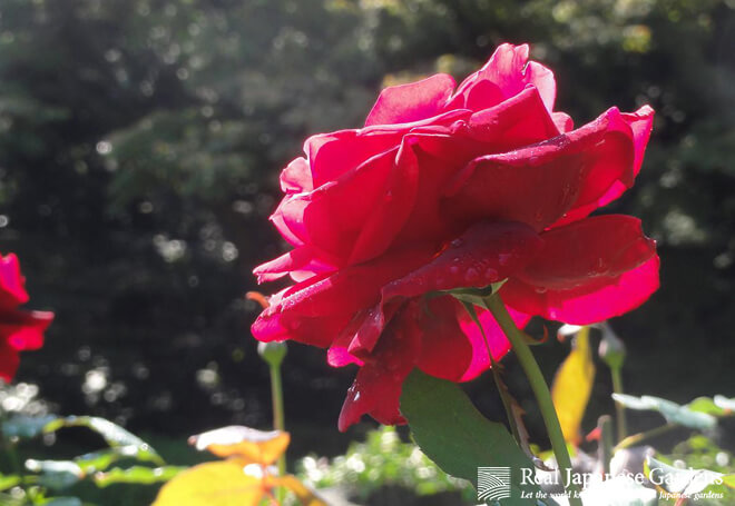 Beautiful roses at the Kyu-Furukawa garden.